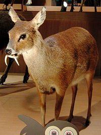 Chinese water deer Stuffed specimen.jpg