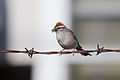 Chipping sparrow 6424.jpg