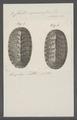 Chiton squamosus - - Print - Iconographia Zoologica - Special Collections University of Amsterdam - UBAINV0274 081 06 0004.tif