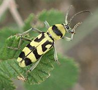 Chlorophorus varius Greece.jpg