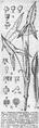 Chlorospatha lehmannii DPR.png