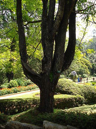 Choerospondias axillaris - Image: Choerospondias axillaris (Anacardiaceae) at Sim's Park, Coonoor