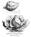 Chou cœur-de-bœuf de Jersey Vilmorin-Andrieux 1904.png