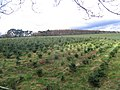 Christmas tree nursery, Cawthorn Moor - geograph.org.uk - 349241.jpg
