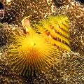 Christmas tree worms (polychaetes) at Ponta do Ouro, Mozambique (36427413320).jpg