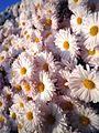 Chrysanthemum (Kogiku)1.jpg