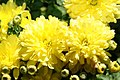 Chrysanthemum Gold Finch 0zz.jpg