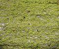 Chrysothrix chamaecyparicola - Flickr - pellaea.jpg
