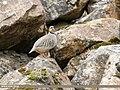 Chukar Partridge (Alectoris chukar) (31021905977).jpg