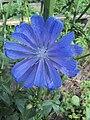 Cichorium intybus var. foliosum flower.jpg