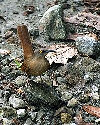 Cinclocerthia ruficauda - Dominica 2001 - b.jpg