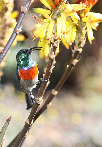Greater double-collared sunbird - Male, Roodepoort, South Africa