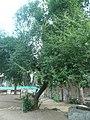 Cirerer de santa Llúcia del parc de l'Oreneta P1510574.jpg