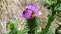 Cirsium vulgare flowers and honey bee 02.jpg