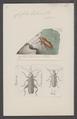 Cissites - Print - Iconographia Zoologica - Special Collections University of Amsterdam - UBAINV0274 028 10 0038.tif