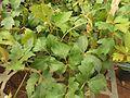 Cissus rhombifolia-3-sunny broke-yercaud-salem-India.jpg