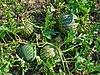 Citrullus colocynthis 004