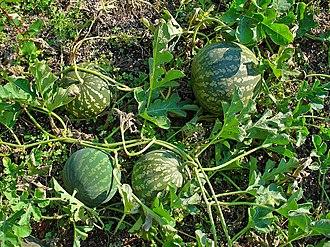 Citrullus colocynthis - Ripe fruit of C. colocynthis