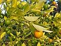 Citrus × microcarpa Kalamondin 2018-10-06 02.jpg