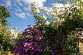 Clematis and climbing white rose at Boreham, Essex, England.jpg