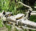 Closeup of turtles basking - Flickr - brewbooks.jpg