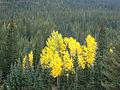 Cluster of aspen in Lockett Meadow (3879573414).jpg