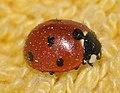 Coccinella-septempunctata-07-fws.jpg
