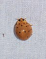 Coccinellidae (28615539276).jpg