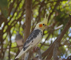 Cockatiel (Nymphicus hollandicus) perched in a tree.jpg
