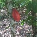 Cocoa 001.jpg