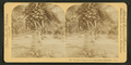 Cocoanut (coconut) trees in the white sands of Florida, U.S.A, from Robert N. Dennis collection of stereoscopic views 2.png