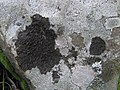 Collema subnigrescens Degel 317243.jpg