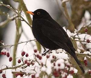 Common Blackbird This image appears to have be...
