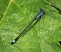 Common Blue-tail male. Ischnura elegans (30223192278).jpg
