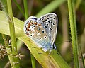 Common Blue. Polyommatus icarus (39646581471).jpg