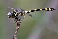 Common Clubtail (Ictinogomphus rapax) W IMG 0224.jpg