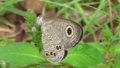 Common Fivering (Ypthima argus) underside.png
