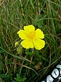 Common Rock-Rose - geograph.org.uk - 471028.jpg