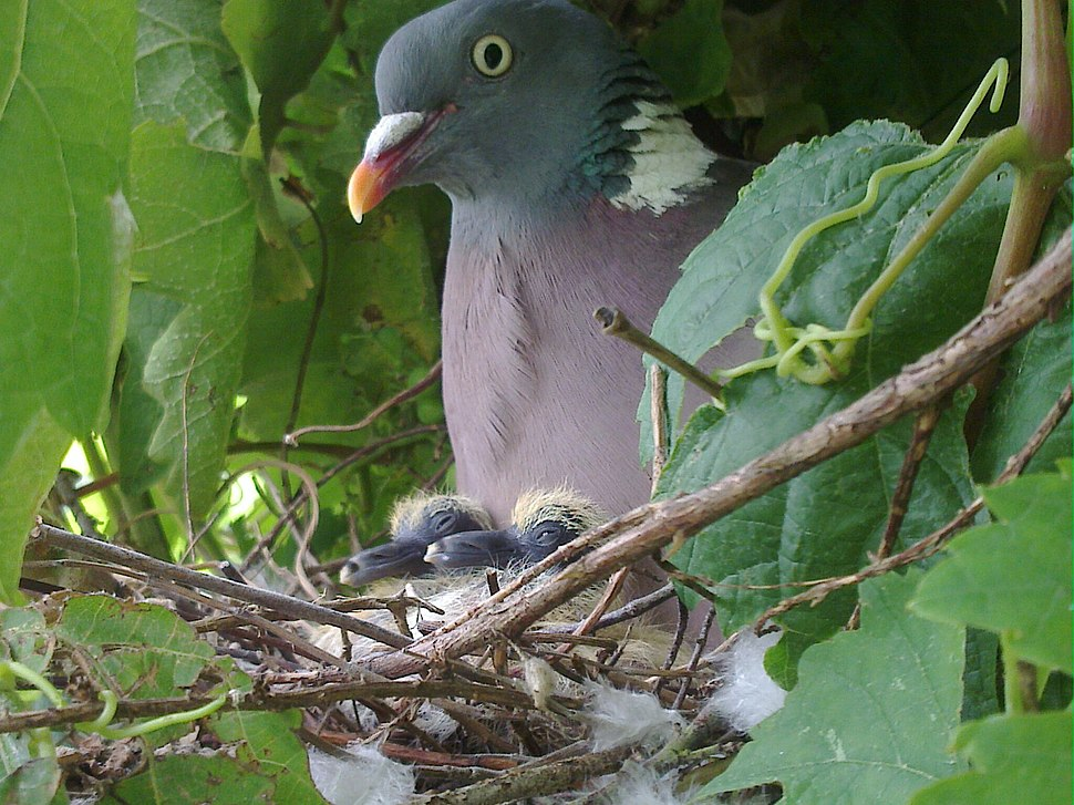 Common Wood Pigeon with newly hatched young
