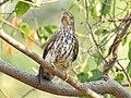Common hawk cuckoo (Hierococcyx varius) 10.jpg