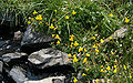 Common monkeyflowers Mimulus guttatus rocky stream.jpg