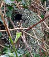 Completed Domed Nest Of Long-tailed Tit - Flickr - gailhampshire.jpg