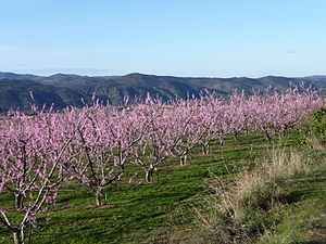 Peach production in China - Peach blossoms