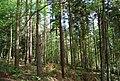 Conifers, Race Hill, St Leonards Forest - geograph.org.uk - 1288514.jpg