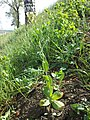 Conringia orientalis sl21.jpg