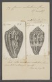 Conus achatinus - - Print - Iconographia Zoologica - Special Collections University of Amsterdam - UBAINV0274 085 10 0022.tif