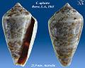 Conus aplustre 2.jpg