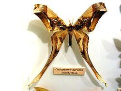 Copiopteryx derceto.jpg