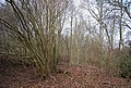 Coppiced trees in Line Wood - geograph.org.uk - 1726785.jpg
