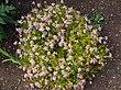 Coreopsis rosea.jpg